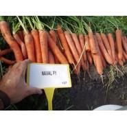 Hibrit Havuç Tohumu F1 (Kışlık - Sofralık) Çeşit 2 - 250.000 Adet Tohum