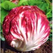 Hibrit Hindiba (Radicchio rosso) Tohumu F1 (Yuvarlak - Kırmızı - Beyaz) Çeşit 4 - 5.000 Adet Tohum