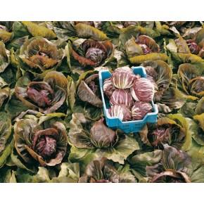 Hibrit Hindiba (Radicchio rosso) Tohumu F1 (Yuvarlak - Kırmızı - Beyaz) Çeşit 5 - 5.000 Adet Tohum