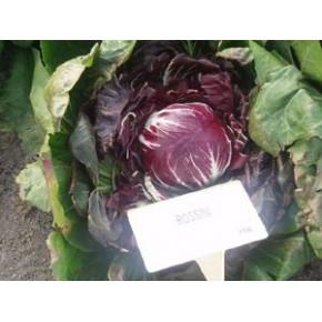 Hibrit Hindiba (Radicchio rosso) Tohumu F1 (Yuvarlak - Kırmızı - Beyaz) Çeşit 7 - 5.000 Adet Tohum