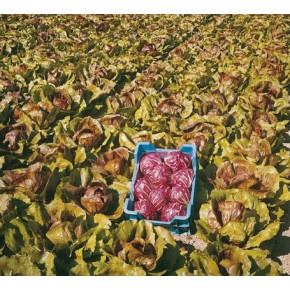 Hibrit Hindiba (Radicchio rosso) Tohumu F1 (Yuvarlak - Kırmızı - Beyaz) Çeşit 2 - 5.000 Adet Tohum