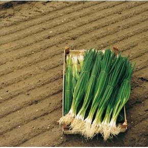 Hibrit Yeşil Taze Soğan Tohumu F1 - 10.000 Adet Tohum