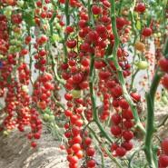 Hibrit Sırık Cherry Domates Tohumu Bright F1 - 1.000 Adet