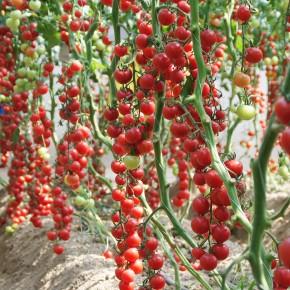 Hibrit Sırık Cherry Domates Fidesi Bright F1 - 216 Adet