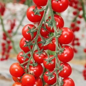 Hibrit Sırık Cherry Domates Fidesi Papier F1 - 216 Adet
