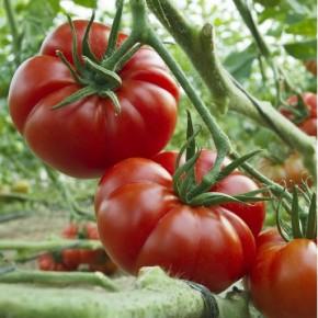 Hibrit Yarı Sırık Kırmızı Köy Domates Tohumu Cartrige F1 - 1.000 Adet