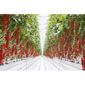 İthal Cherry Domates Tohumu Chessy - 10.000 Adet