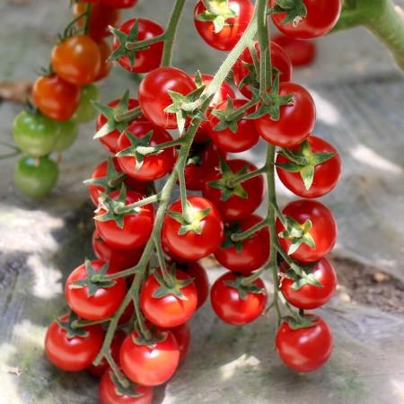 İthal Cherry Domates Tohumu Wrescoin - 10.000 Adet