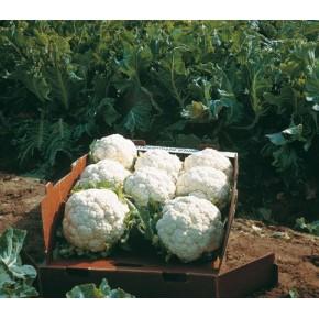 Hibrit Karnıbahar Tohumu F1 (Kışlık) Çeşit 10 - 2.500 Adet Tohum