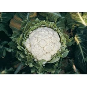 Hibrit Karnabahar Tohumu F1 (Kışlık) Çeşit 9 - 2.500 Adet Tohum