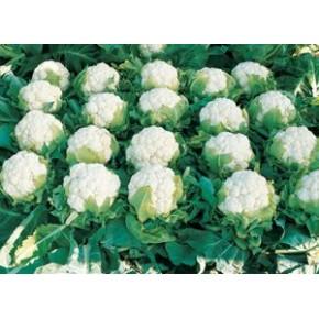 Hibrit Karnabahar Tohumu F1 (Yazlık - Sonbahar) Çeşit 6 - 2.500 Adet Tohum