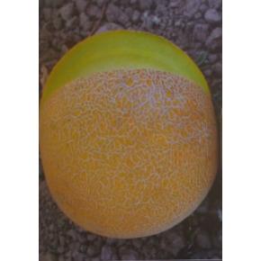 Hibrit Kavun Tohumu - Galia 1302 F1 - 1.000 Adet Tohum