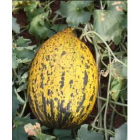Hibrit Kırkağaç Kavun Tohumu - 1213 F1 (Erkenci) - 1.000 Adet Tohum