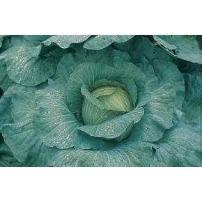 Hibrit Beyaz Lahana Tohumu F1 (Yuvarlak - Sanayi) Çeşit 1 - 2500 Adet