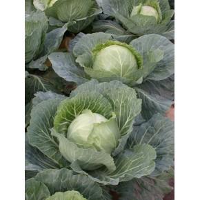 Hibrit Kışlık Beyaz Lahana Tohumu F1 (Sanayi - Sofralık) Çeşit 2