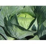 Hibrit Kışlık Beyaz Lahana Tohumu F1 (Sanayi - Sofralık) Çeşit 3