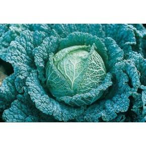 Hibrit Kışlık Beyaz Lahana Tohumu F1 (Sanayi - Sofralık)