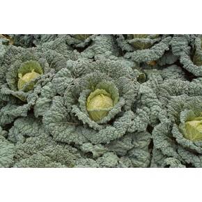 Hibrit Kışlık Beyaz Lahana Tohumu F1 (Sanayi - Sofralık) Çeşit 4