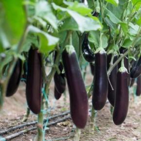 Hibrit Patlıcan Tohumu - HAYAL RZ F1 -1.000 Adet Tohum