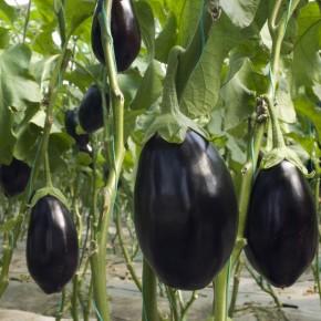 Hibrit Topan Patlıcan Fidesi - Ksantra F1 - 216 Adet