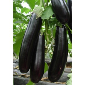 Hibrit Patlıcan Tohumu - CORONEL F1 - 1.000 Adet