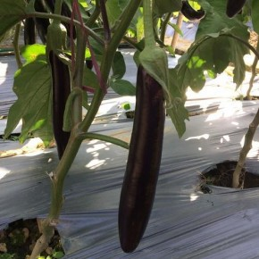 Hibrit Uzun Patlıcan Tohumu NT-1695 F1 - 1.000 Adet