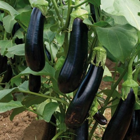 Hibrit Uzun Patlıcan Fidesi Pour F1 - 216 Adet