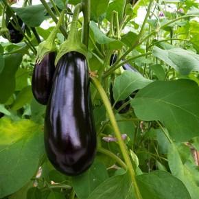 Hibrit Yarı Topan Patlıcan Fidesi - Barrio F1 - 216 Adet