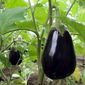 Hibrit Patlıcan Tohumu - CURVELO F1 - 1.000 Adet