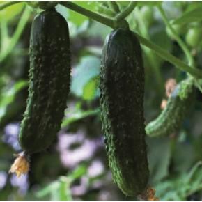 Hibrit Turşuluk Salatalık Fidesi - Casco F1 - 216 Adet