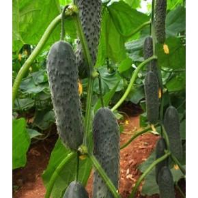 Hibrit Turşuluk Salatalık Tohumu F1 (Dikenli - Sofralık)  - 500 Adet Tohum