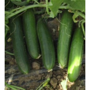 Hibrit Oturak Salatalık Tohumu - AZ-55 F1 - 2.500 Adet Tohum