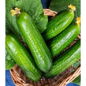 Hibrit Oturak Salatalık Tohumu - Başak F1 (Tarla) - 50 gr/paket