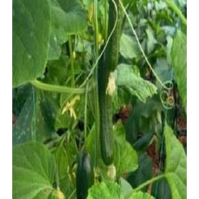 Hibrit Sırık Salatalık Tohumu - Kardelen F1 (Sera) - 500 Adet Tohum