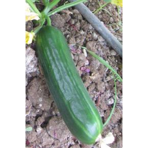 Hibrit Sırık Salatalık Fidesi - Yeşilgöz F1 - 216 Adet