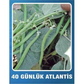 Fasulye Tohumu 40 Günlük Amerikan - Atlantis (Oturak) - 10 gr