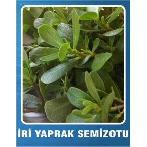 Semiz Otu Tohumu İri Yaprak - 10 gr