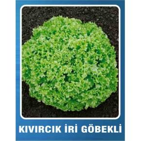Marul Tohumu Kıvırcık İri Göbekli - 10 gr