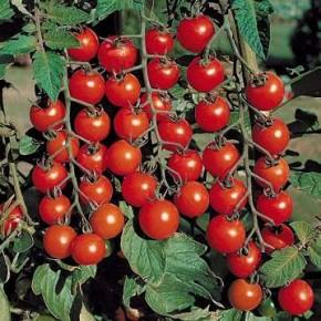 Domates Tohumu Cherry - 25 Adet