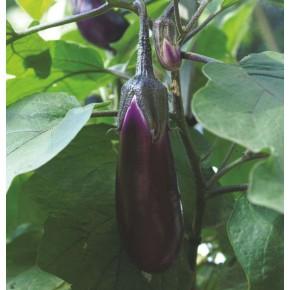 Patlıcan Tohumu Pala - 25 Adet