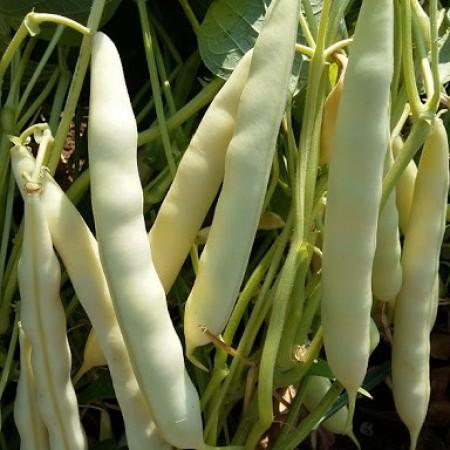 Beyaz Barbunya Tohumu ( Sırık ) - 25 Adet