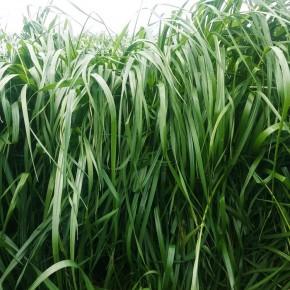 Çok Hızlı Büyüyen Çim Tohumu - 10 Kg