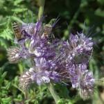 Arı Otu Tohumu