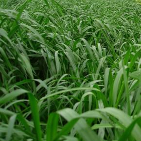 İthal Ryegrass Tohumu - 1 Kg