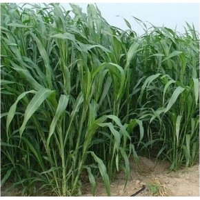 Tatlı Sorgum Sudan Otu Tohumu - Biomarlı - 1 Kg