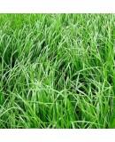 Reygrass - Süt Otu Tohumu