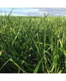 Yaz Otu - Teff Grass Tohumu