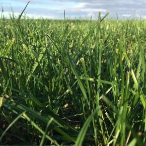 Teff Grass Tohumu - 1 Kg