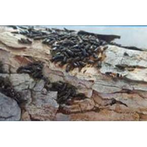 12 Dişli Çam Kabuk Böceği Feromonu (Cezbedicisi)