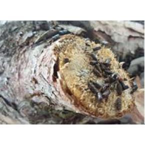 8 Dişli Çam Kabuk Böceği Feromonu (Cezbedicisi)